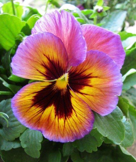 beautiful pansies | Beautiful Pansy