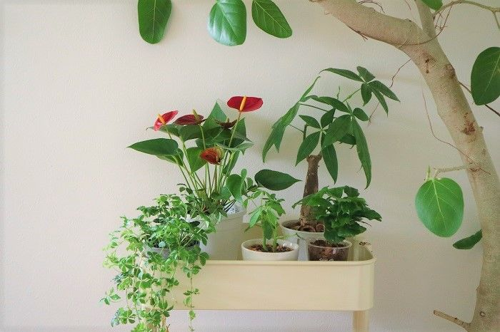 観葉植物のおすすめ30選と育て方 観葉植物 植物 パキラ