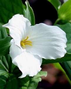 TRILLIUM - Provincial flower of Ontario, Canada