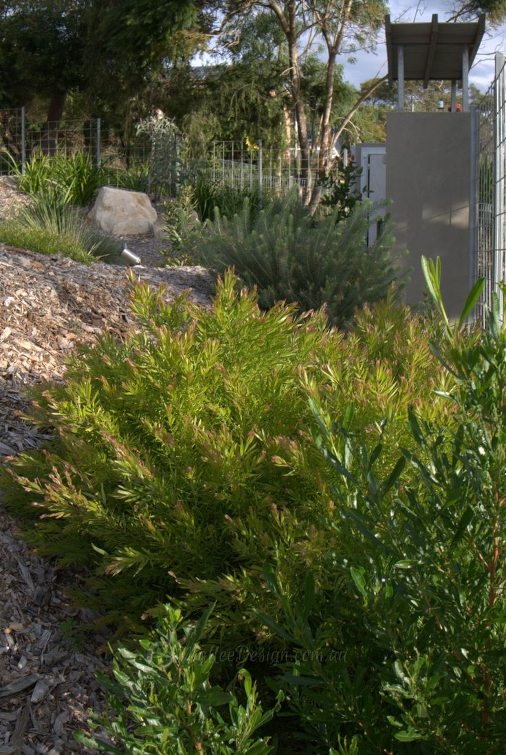 Mixed planting of Dodonaea 'Mr Green Screen', Acacia Fimbriata Dwarf (with the pink tips) and Calothamnus quadrifidus Grey Leaf at the back