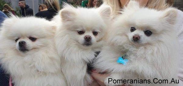 White Dochlaggie Pomeranian Puppies Melbourne Dochlaggie