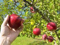 Jak provádět udržovací a zmlazovací řez jabloní a hrušní: obrazový návod