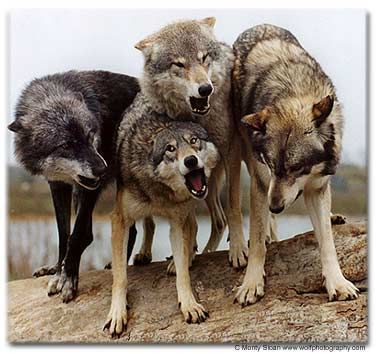 Most wolves are too wild, and even if taken and raised at birth, never are able to function or get along with people.