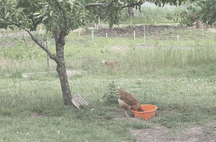Hen in Mandelmanns trädgård