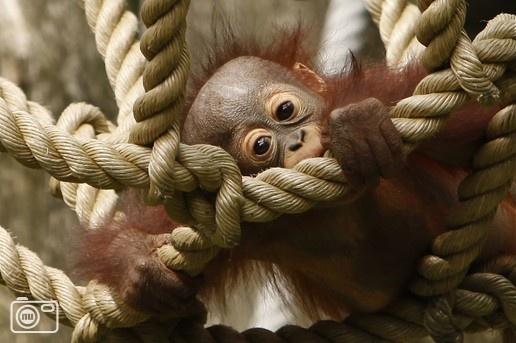 Baby Orang Oetan in Apenheul