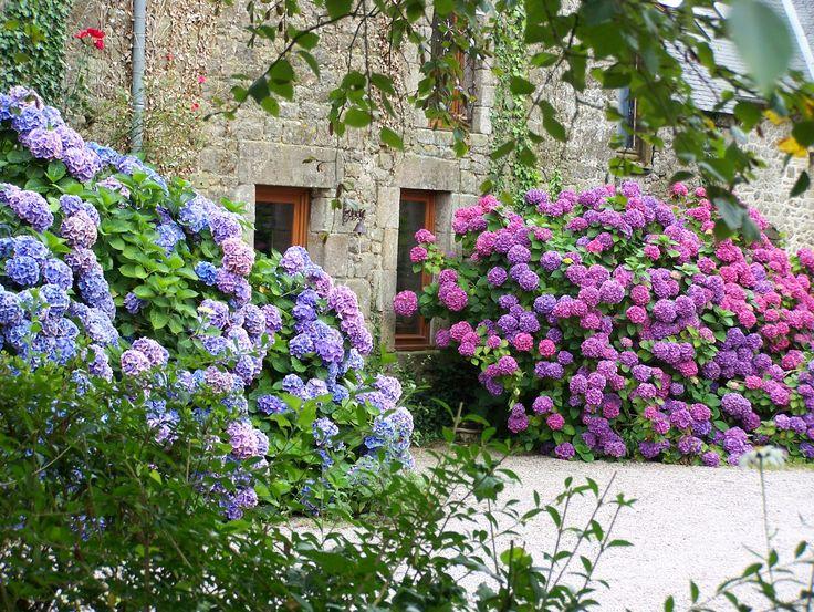 Dependiendo del pH del suelo, la Hortensia puede poseer flores rosas (pH> 7) o azules (pH< 7)