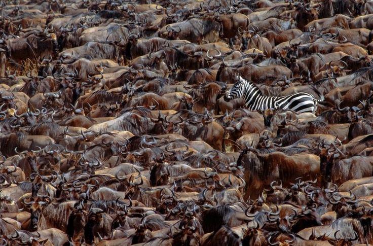 ハッとするような美しさ 大移動する野生動物たちの画像
