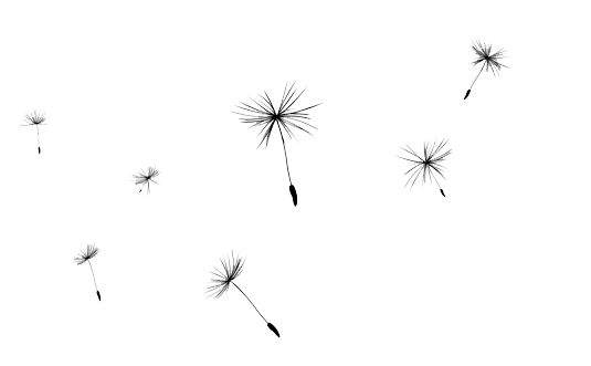 Gallery For > Dandelion Png