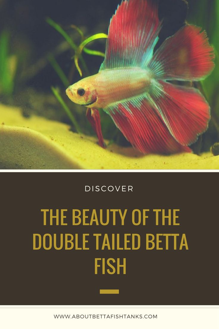 49 best funny little betta fish images on pinterest fish for Fun fish facts
