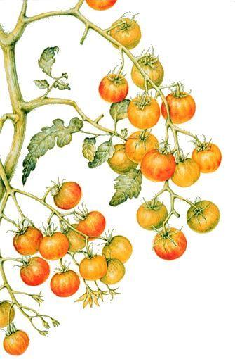 Carol E. Hamilton   American Society of Botanical Artists