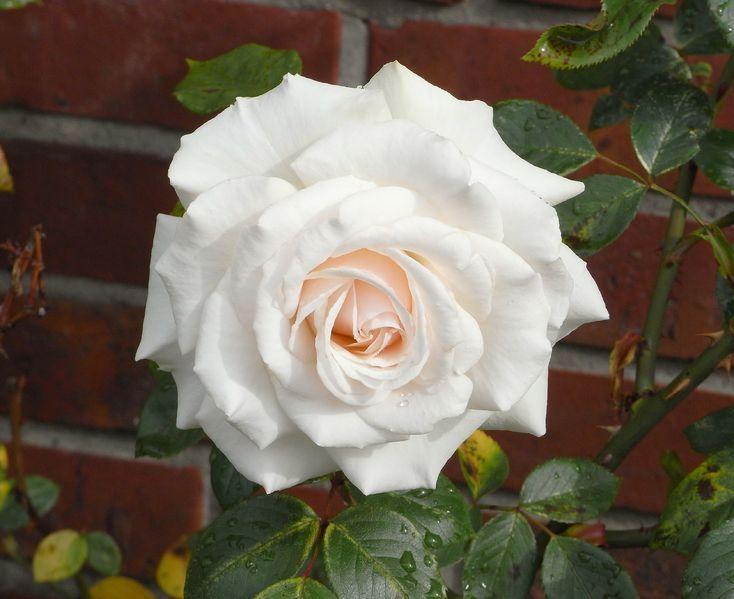 Růže -http://www.semena-rostliny.cz/cs/article/96-zarive-zlute-i-cervene-slunecnice