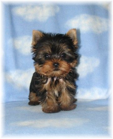 yorkie schnauzer mix | YORKSHIRE TERRIER (YORKIES) PUPPIES