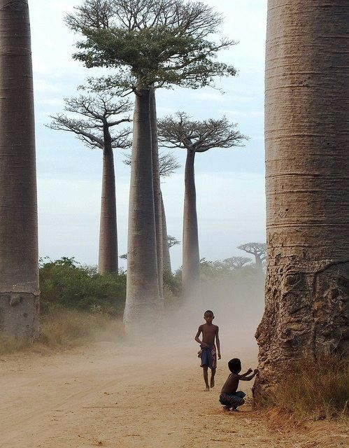The ancient baobab tree.  Pinning this for my sister - look, real ones!!  :)  Link takes you to a screen to open the picture.