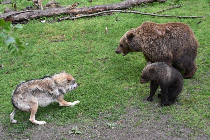 Braunbären im Wolfsgehege