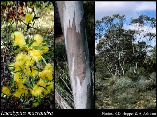 Eucalyptus macrandra 2-8m