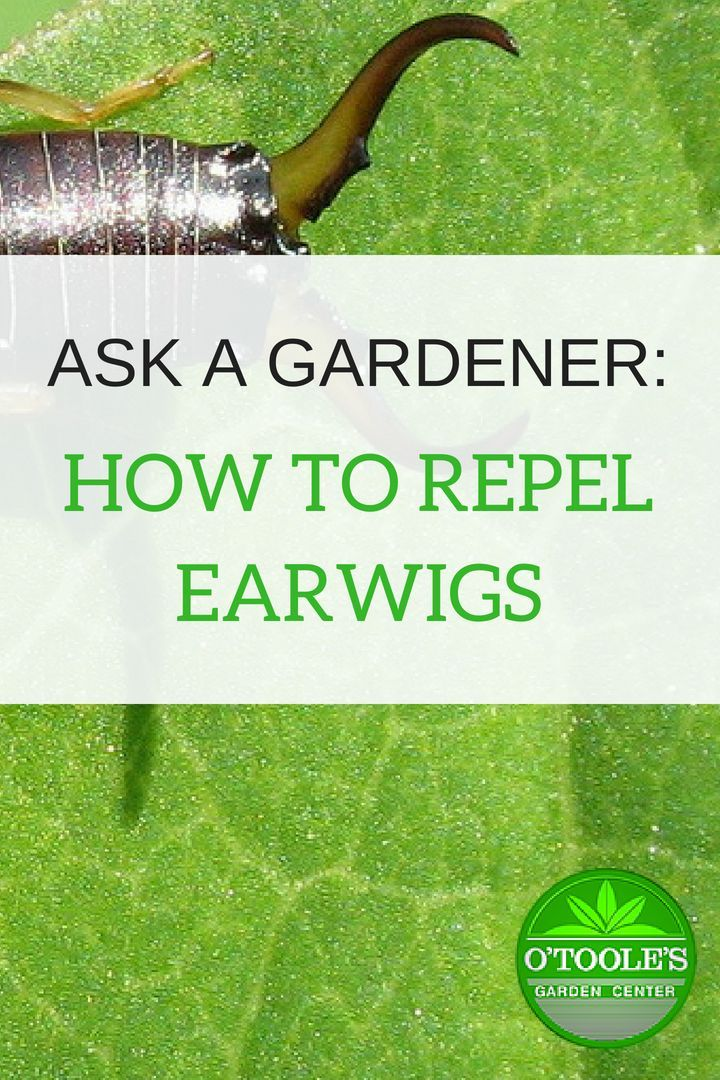 Ever wondered how to get rid of earwigs in the garden? Find out some all-natural ways to keep your earwig population manageable from O'Toole's Gardening ...