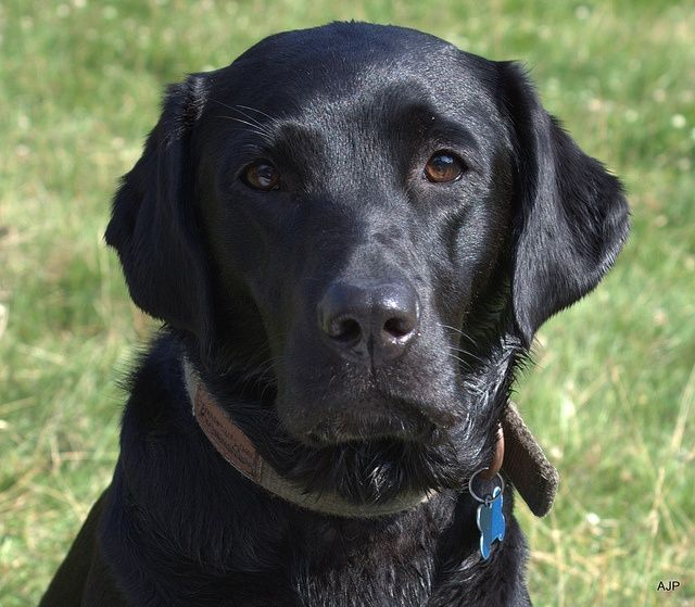 Otto - lovely black Lab - what a shiny coat