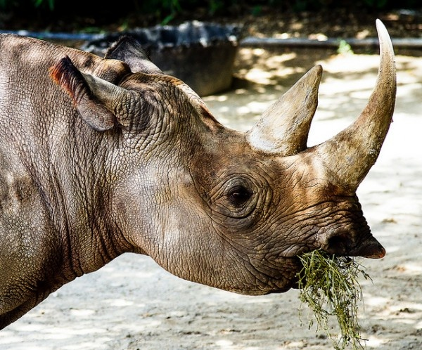 United Nations Calls For Penalties For Ivory And Rhino Horn Traffickers: http://www.greenerideal.com/science/0426-un-calls-for-penalties-for-ivory-rhino-horn-traffickers/