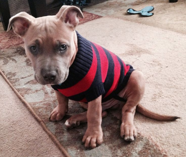french bulldog pitbull mix thorn pitbull french bulldog mix pitbulls bulldogs 5759