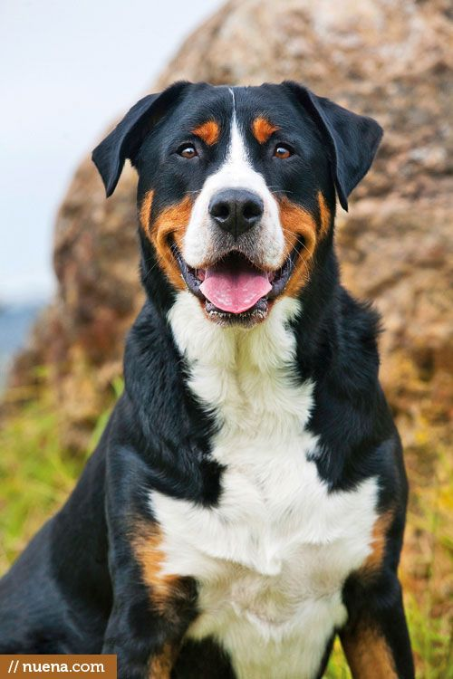 Greater Swiss Mountain Dogs -- when we get a farm we will have a Swissy and a Pyr outside, and a Whippet and a Boxer inside. Yes. I do like dogs. How did you guess?