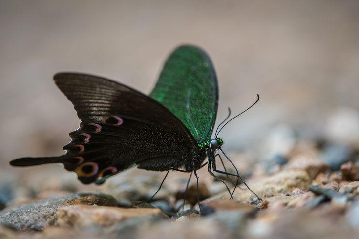 Paris Peacock Butterfly, Kaeng Krachan National Park, Thailand