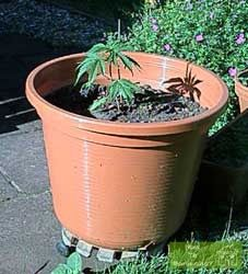 Young Marijuana Plant in Pot outside