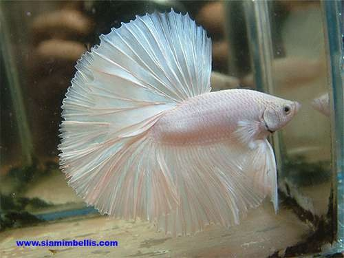 Platinum White HalfMoon Betta. Gorgeous! | How to Take ...