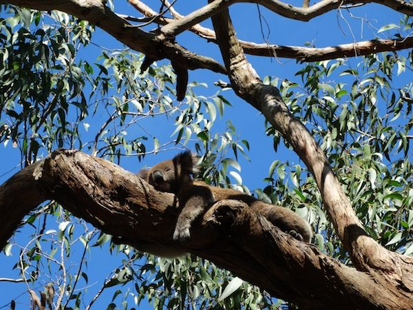 A sleepy #Koala seen during the awesome  #GreatOceanRoad sunset Tour  with Bunyip! #followthebunyip