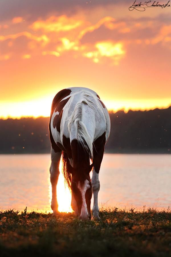 Paint horse at the edge of the lake at sunset, grazing on the grass with the sun's reflexion on the water shining up between his legs. Amazing horse photography. Agata Chodorowska - Fotografia. Please also visit www.JustForYouPropheticArt.com for colorful inspirational art. Thank you so much! Blessings!