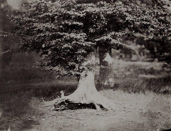 The Beech Tree, 1856