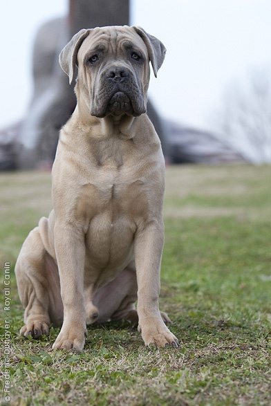 Breed Encyclopedia Purebred Dogs Your Dog Cane Corso Purebred Dogs Dogs
