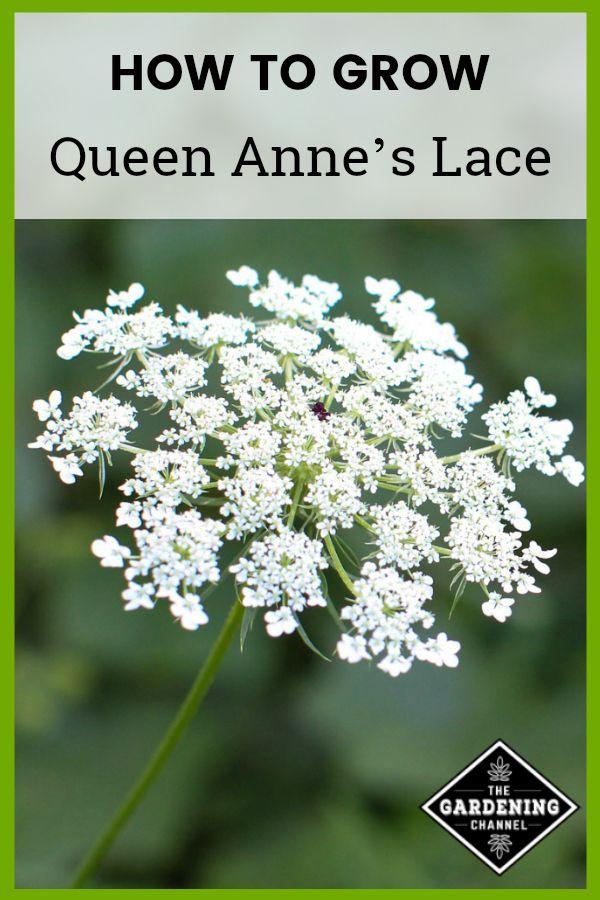 Wie man die Spitze von Queen Anne züchtet