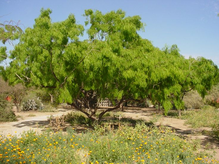sonoran desert trees - Google Search