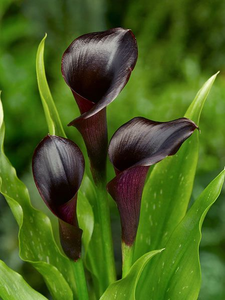Calla lilly Zantedeschia 'Odessa' - these deep plum coloured flowers look almost black in low light