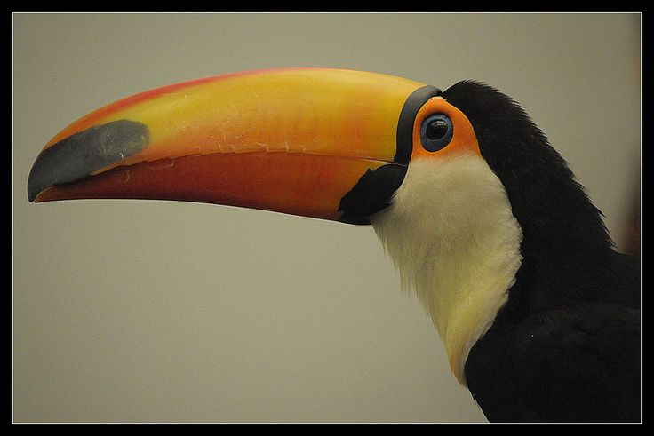 Toco Toucan | Flickr - Photo Sharing!