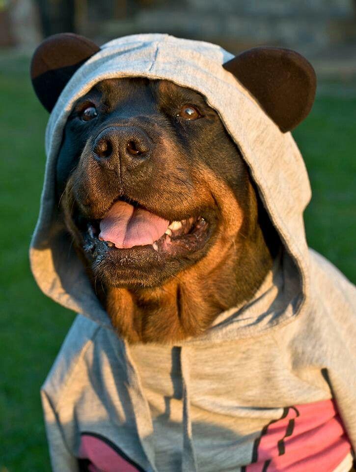Best 25 Rottweiler Funny Ideas On Pinterest Fuuny Memes
