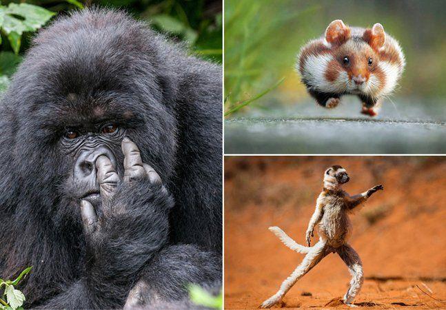 O objetivo do concurso Comedy Wildlife Photography Awards é selecionar e premiar os registros fotográficos mais engraçados de animas agindo em seu habitat natural. Como tudo que é bom na comédia, não se trata de debochar do retratado, mas sim de rir com ele – e sabemos o quanto animais em geral podem ser divertidos. A habilidade técnica e a beleza das imagens são critérios importantes para o concurso. A comicidade, a graça e o bom humor, porém, são a verdadeira chave para a seleção dos…