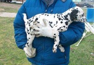 dalmatian puppies for sale in michigan