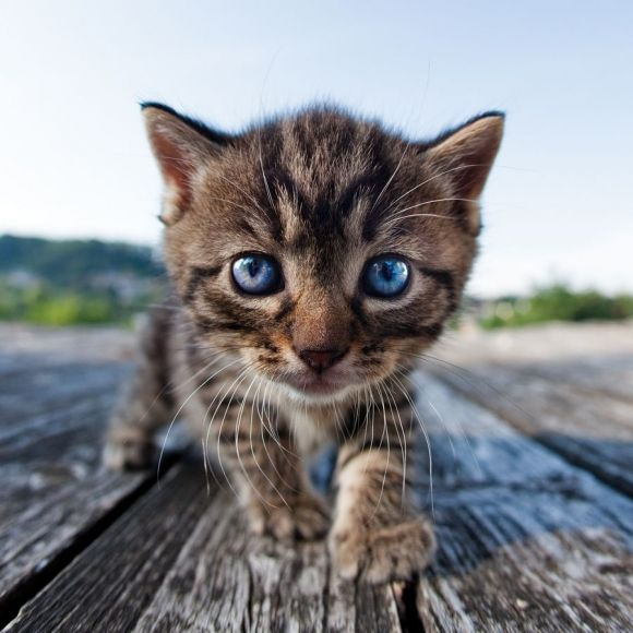 Those blue eyes can mezmorize you! How cute is this little kitten?