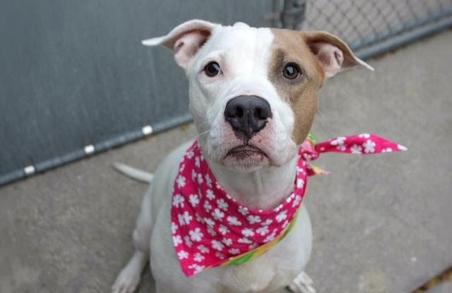 """gone~~    LEXIE - A1095287 - - Manhattan  Please Share:TO BE DESTROYED 11/12/16  A volunteer writes: """"Lexie"""" is often short for """"Alexandra"""" but our girl is a Lexie for sure. You see Alexandras are regal and royal. Lexies are adorable and sweet. Alexandras are ethereal and elegant. Lexies are playful and silly. Alexandras wow by just entering a room. Lexies quietly and surely charm. Yes our Lexie is definitely a Lexie. And I wouldn't have it any other way"""