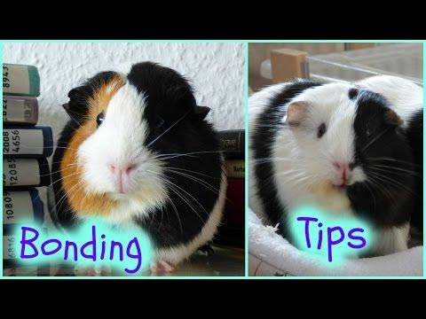 Tips For Bonding With Your Guinea Pigs - YouTube