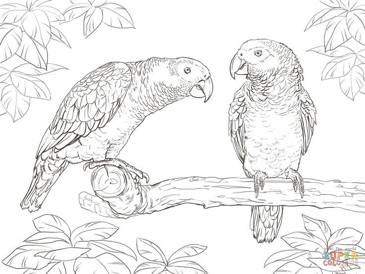Two African Grey Parrots Coloring Page From Category