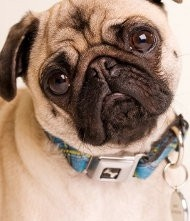 Frowny pug