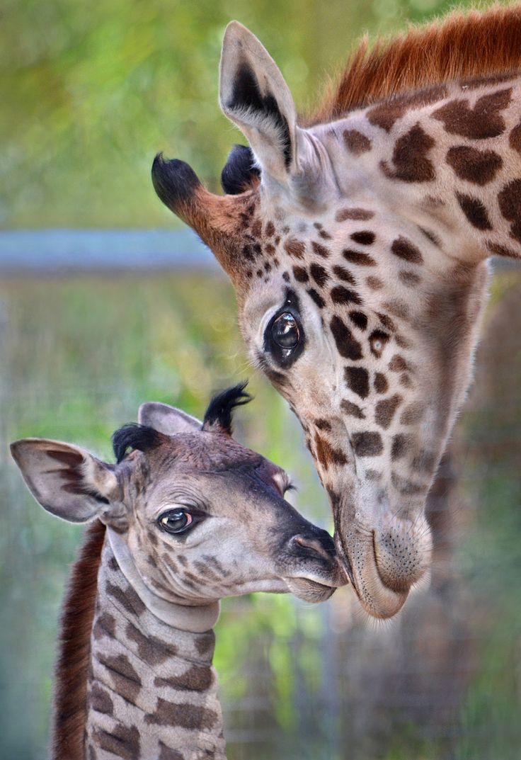 A one day old giraffe gets some attention from another giraffe at the San Diego Zoo. Photo by Ion Moe