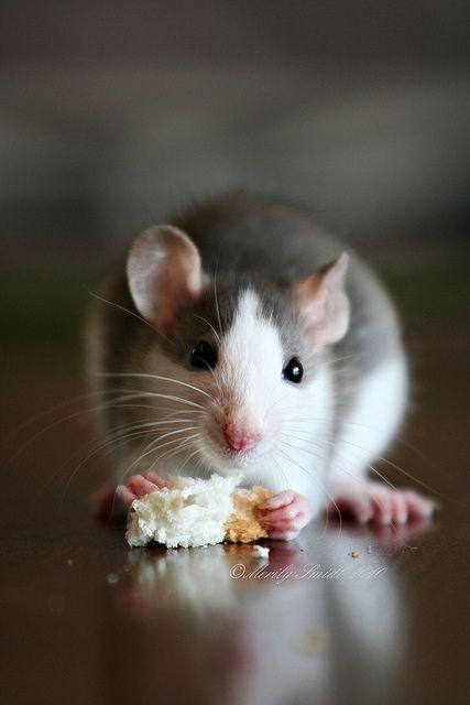 The 25+ best Rat ideas on Pinterest | Rats, Pet rats and ... | 427 x 640 jpeg 24kB