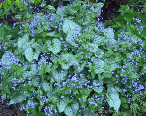 Planting Under Deciduous Trees : Brunnera jack frost quot brunneras are ideal under deciduous trees