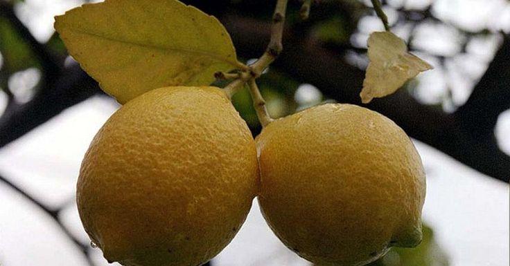Nuestros frutales son un regalo de la naturaleza, ¡merecen todos los cuidados! ¡Aprende a podar tu limonero!