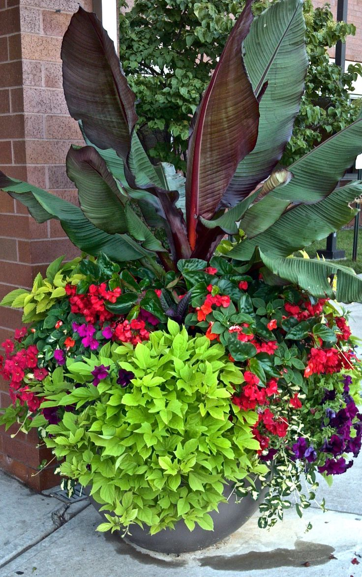 Giant Banana Plants Add Great Interest To A Summer Planter