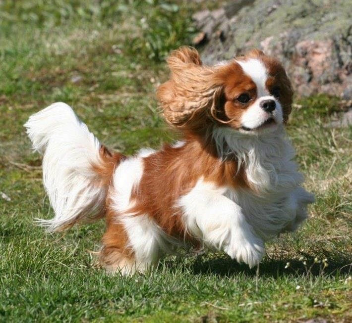 Play time! What a pretty Blenheim Cavaliers Pinterest