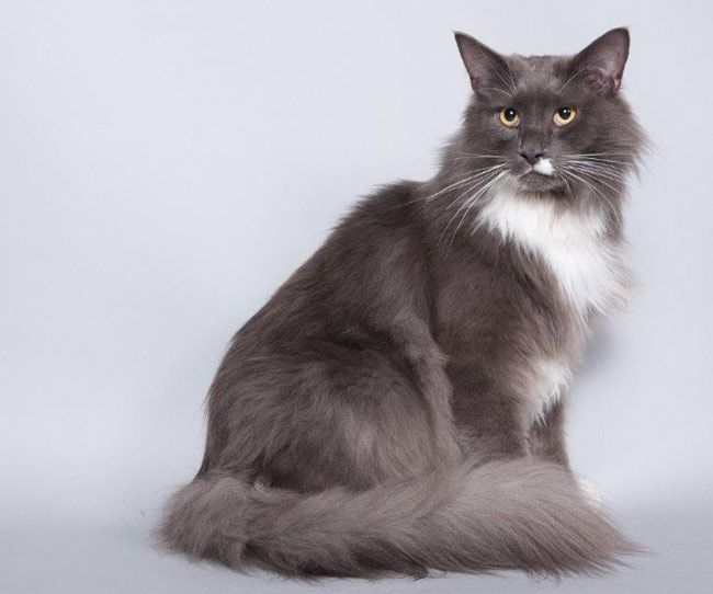 Maine Coon, Blue Smoke & White (as 09). SP.NL Gladur's Freaky Friday